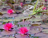 The Water-Lily